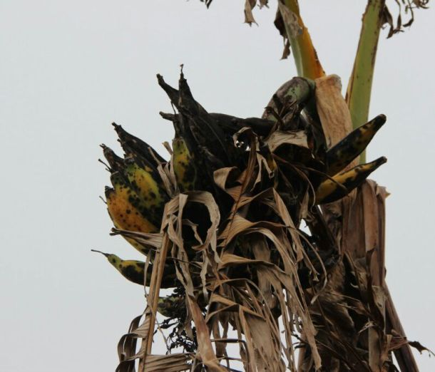 Damaged plantain. Photo by Orlando Velez