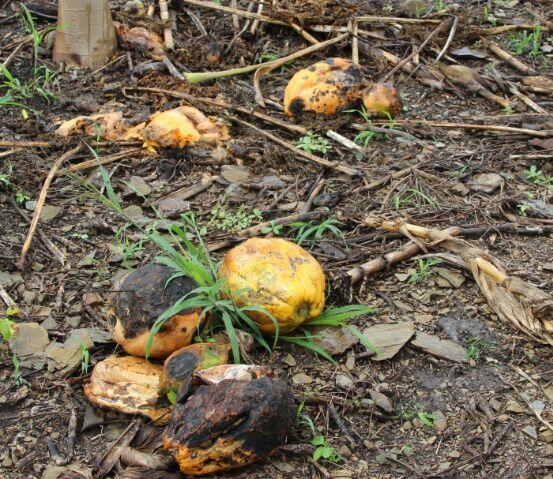 Papaya damaged by glyphosate. Photo by Orlando Velez